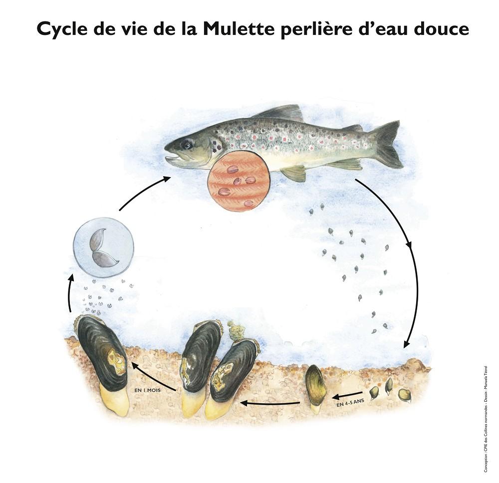 Le cycle de vie de la mulette perlière-MTetrel