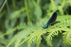Calopteryx à la Maison du Paysage-MJourdan