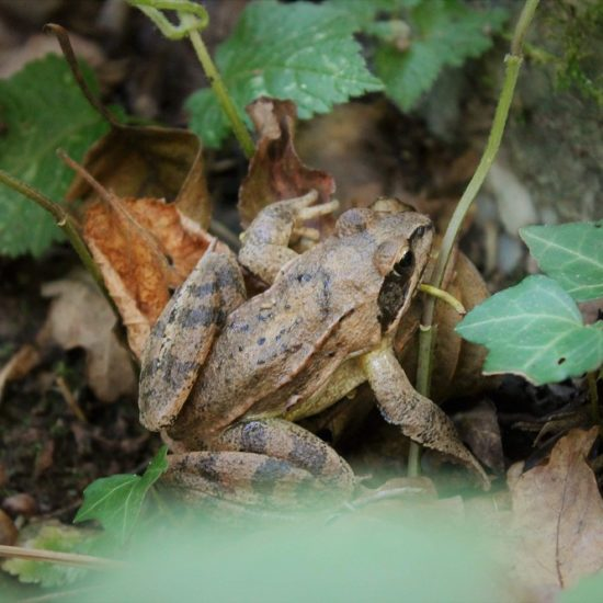 Petite grenouille au Vaudobin-MJourdan