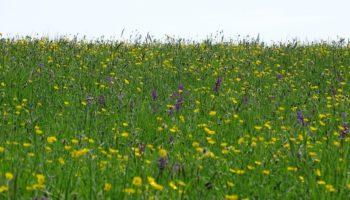 Prairies a Orchis morio dans l'Orne