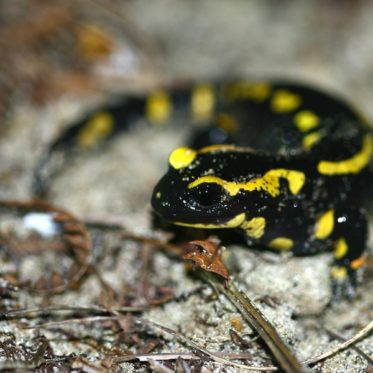 salamandra salamandra-JLaunay