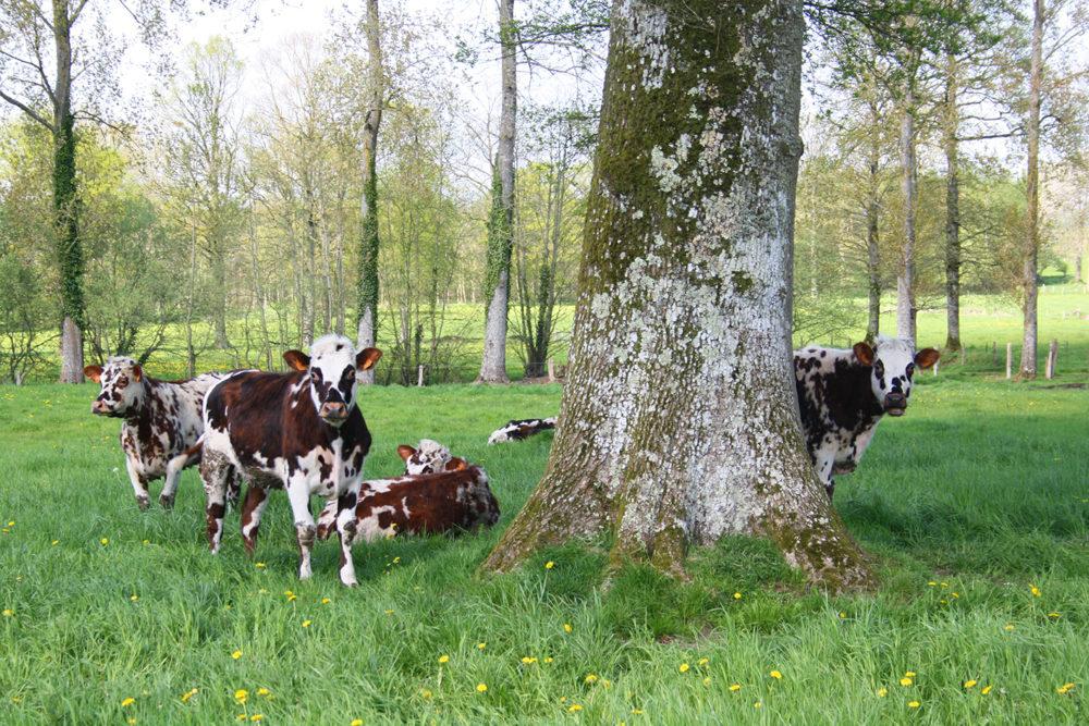 Le bocage terre d'élevage