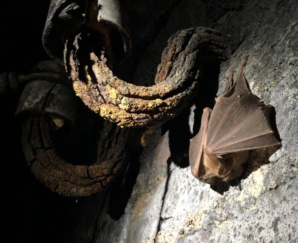Une chauve-souris en hibernation