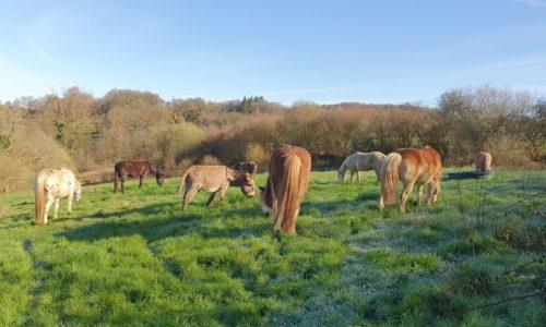 chevaux au pré pendant le confinement